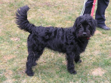 doodle puppy kopen labradoodle