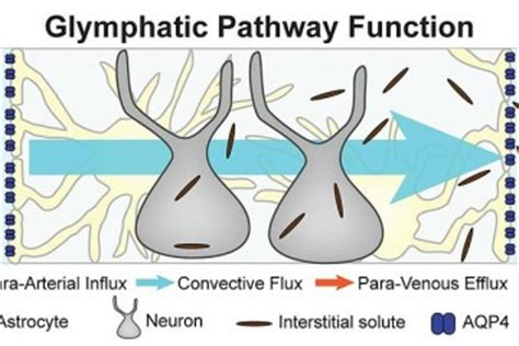 Glymphatic System Detox by Glymphatic System Neuroscience News