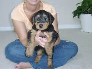 airedale puppies for sale in michigan airedale terrier puppies for sale