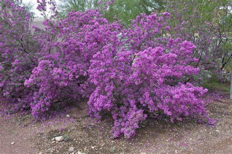 flowering shrubs for desert gardening raging sages high summer flowering shrubs
