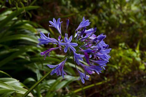 Pflanzen Auf Madeira 2583 pflanzen auf madeira schmucklilie mein sch ner garten