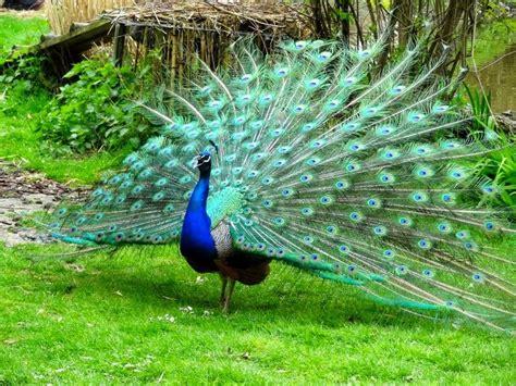 224 best images about burung cantik on pinterest love 12 best burung merak images on pinterest peacock