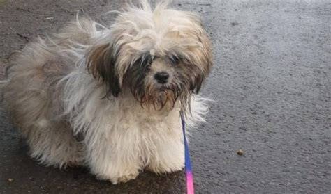 6 month shih tzu larry 6 month shih tzu for adoption