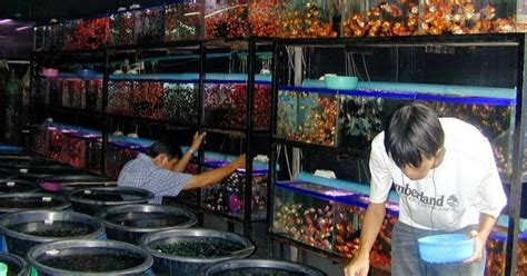 Penjual Pakan Ikan Louhan tempat berburu ikan hias di bandung ikan hias air tawar