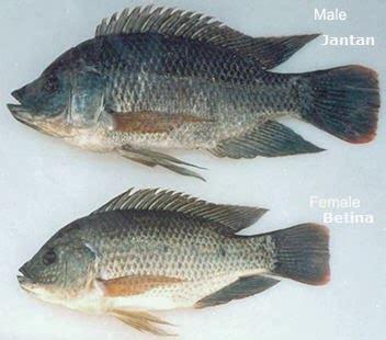Bibit Ikan Nila Blitar ilmu budidaya peternakan indonesia hormon