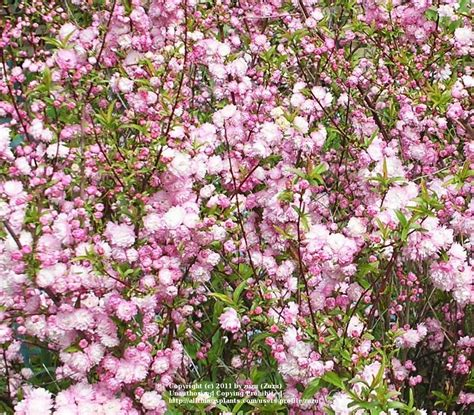 pink flowering almond shrub photo of the entire plant of pink flowering almond prunus