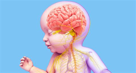 Baby Brain by Researchers Find Key To Help Premie Brain Development