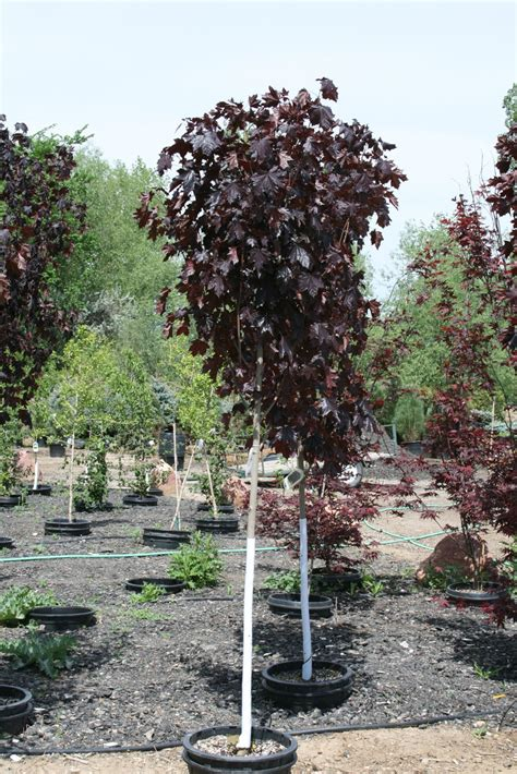 King House Maple Shade 28 Images Crimson King Maple Tree For Sale Fast Growing