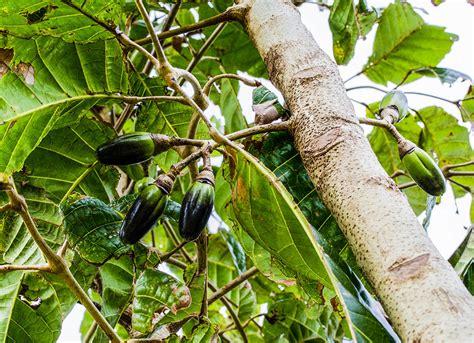 Pili Search Pili Nut Buyers Pili Nuts
