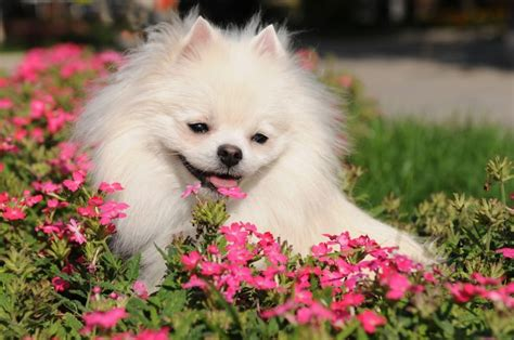 interesting facts about pomeranians 8 pomeranian facts that will your mind