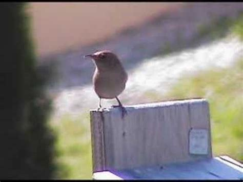 house wren sings the song of the day youtube
