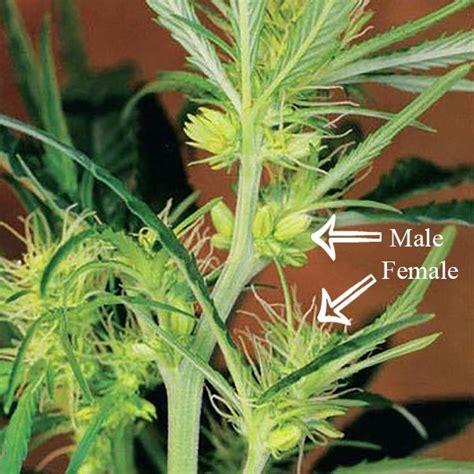 young male marijuana plant milktruck s log outdoor and indoor 2016 deleted grow