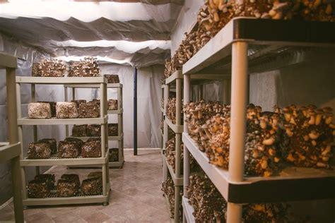 fruiting mushrooms  fruiting room