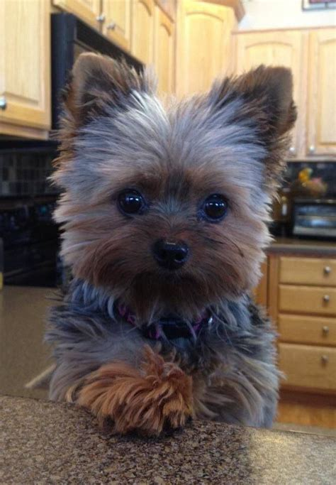 tea cup yorkie hair cuts 83 best images about puppies on pinterest dog hair bows