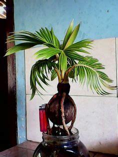 bonsai  avocado plant bonsai plants  indoor