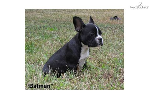 frenchton puppies for sale pa frenchton puppies for sale breeds picture