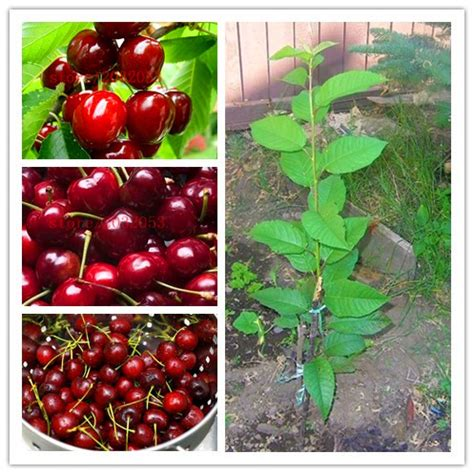cherry tree planting popular sweet cherry plant buy cheap sweet cherry plant lots from china sweet cherry plant