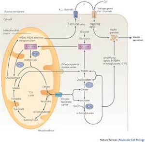 series resistance mechanism molecular and metabolic mechanisms of insulin resistance and β cell failure in type 2 diabetes