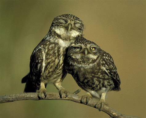 owl lovers little owls in love spain photo by dietmar nill ng s