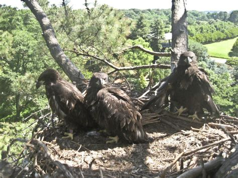 Norfolk Botanical Garden Eagles Pairing In Eagles From Norfolk Botanical Garden The Center For