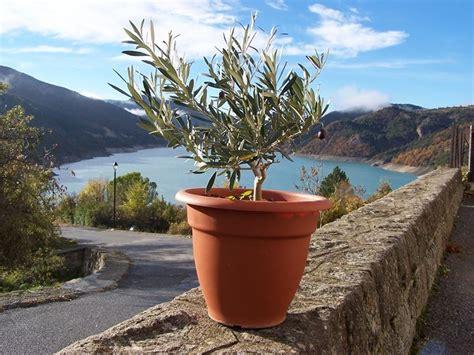 ulivi in vaso ulivo in vaso piante per giardino coltivare ulivo in vaso