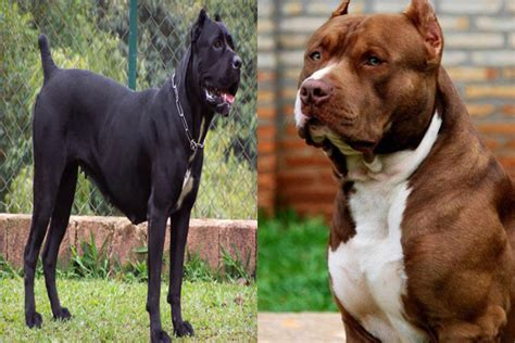 bullmastiff vs rottweiler who would win corso vs pitbull pictures to pin on pinsdaddy