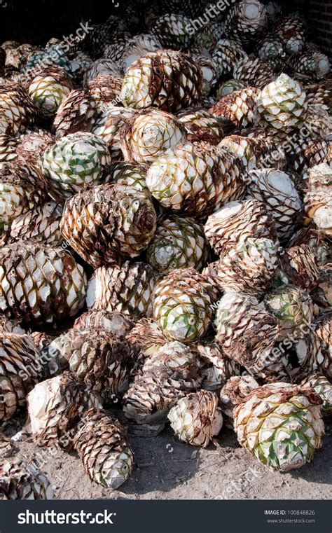 agave fruit agave fruit used produce tequila mexico stock photo