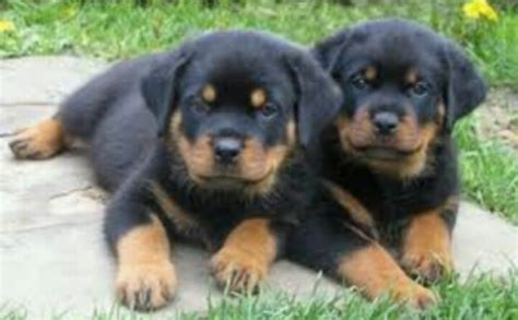 puppy rottweiler tips pin by pare on rotten weilers