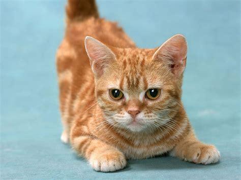 wallpaper yellow cat munchkin cat wallpapers hd download