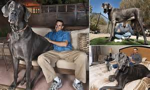 Giant george the world s tallest dog ever who stood over 7ft tall on