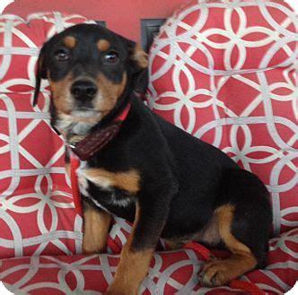 rottweiler dachshund mix puppies tn rottweiler dachshund mix meet ethel a for adoption