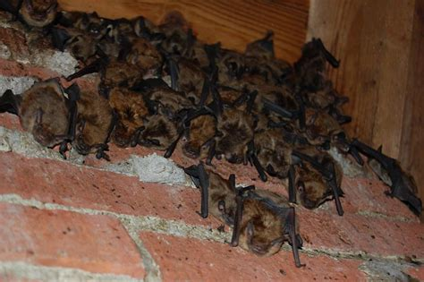 erlanger kentucky bat removal company exclusion of bats