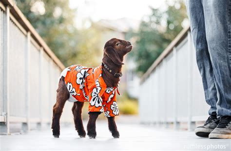 Long And Foster wee goat wears a hawaiian shirt to lei on the cuteness for