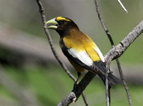 birds evening grosbeak