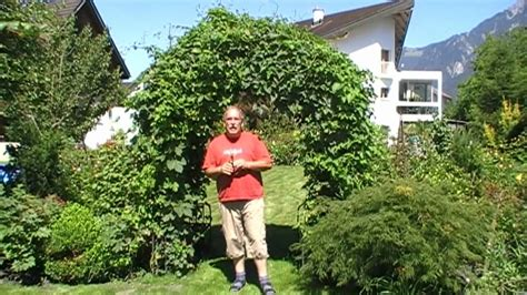Build Your House Online how to grow hops on an arch in your garden part 1 youtube