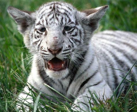 imagenes de jaguar blanco one slight genetic tweak gave white tigers their pale