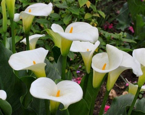 pack of three zantedeschia aethiopica hardy white calla arum lily plants in bud
