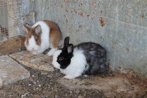 alimentazione coniglio testa di coniglio nano testa di avicoli la selva