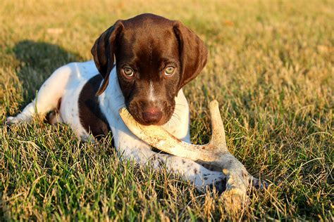 German Shorthaired Pointer Shedding by Future Shed Photograph By Brook Burling