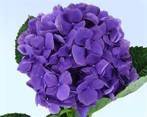 associated cut flower co inc floral product gallery hydrangeas