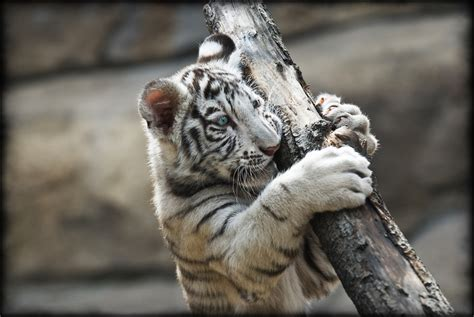 Tiger White white tiger hd wallpapers high definition free