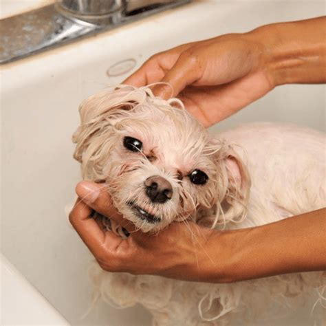 how to get rid of dog lice in the house search results for fleas how to get rid of stuff