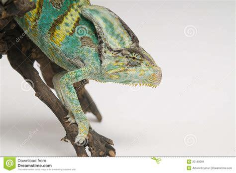chameleon  white background closeup stock image image