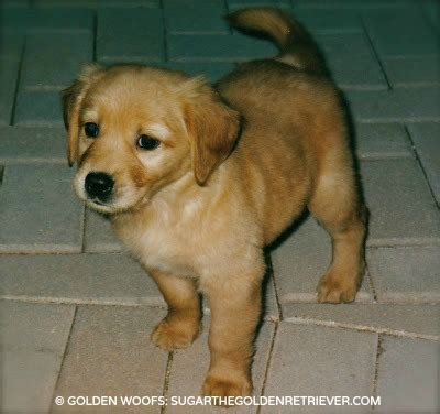 golden retriever national national puppy day with up country golden woofs