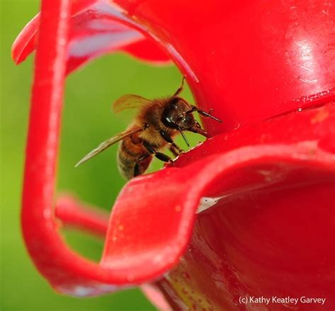 will hummingbird syrup harm the bees bug squad anr blogs
