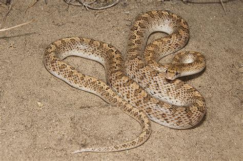 Garden Snake Arizona Desert Glossy Snake Flickr Photo
