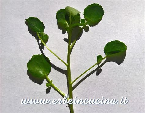 crescione in cucina erbe in cucina coltivare il crescione d acqua