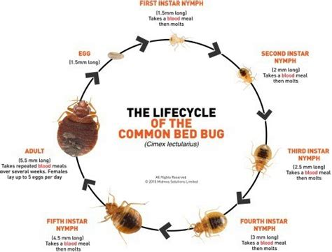 bed bugs life cycle life cycle of bed bugs in lancaster pest control