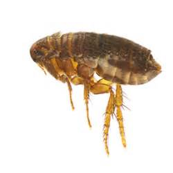 Flea Bombs That Work Flea Bites Symptoms And Treatments