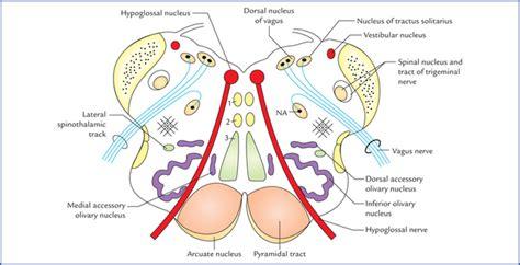 transverse section of medulla oblongata brainstem neupsy key